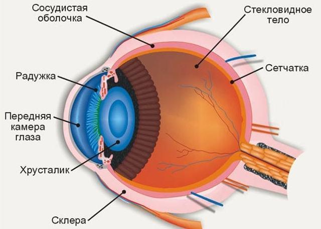 Орган зрения - анатомическое строение глаза человека, его функции и особенности физиологии органа